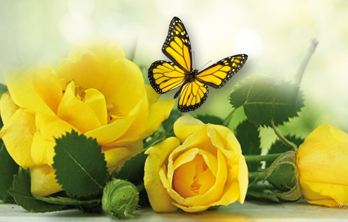 Yellow-Rose-Wallpaper-Design-706x450.jpg